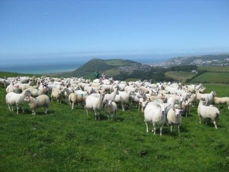 Rob Rattray Sheep Aberystwyth