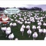 Rattray's birds