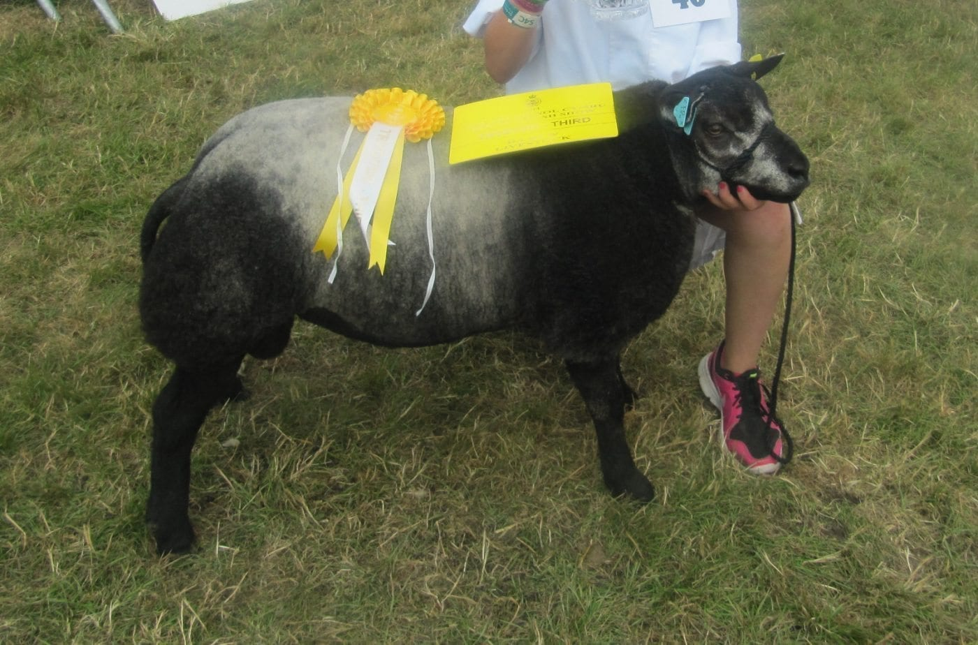 Blue Texel  Rams for sale at Worcester