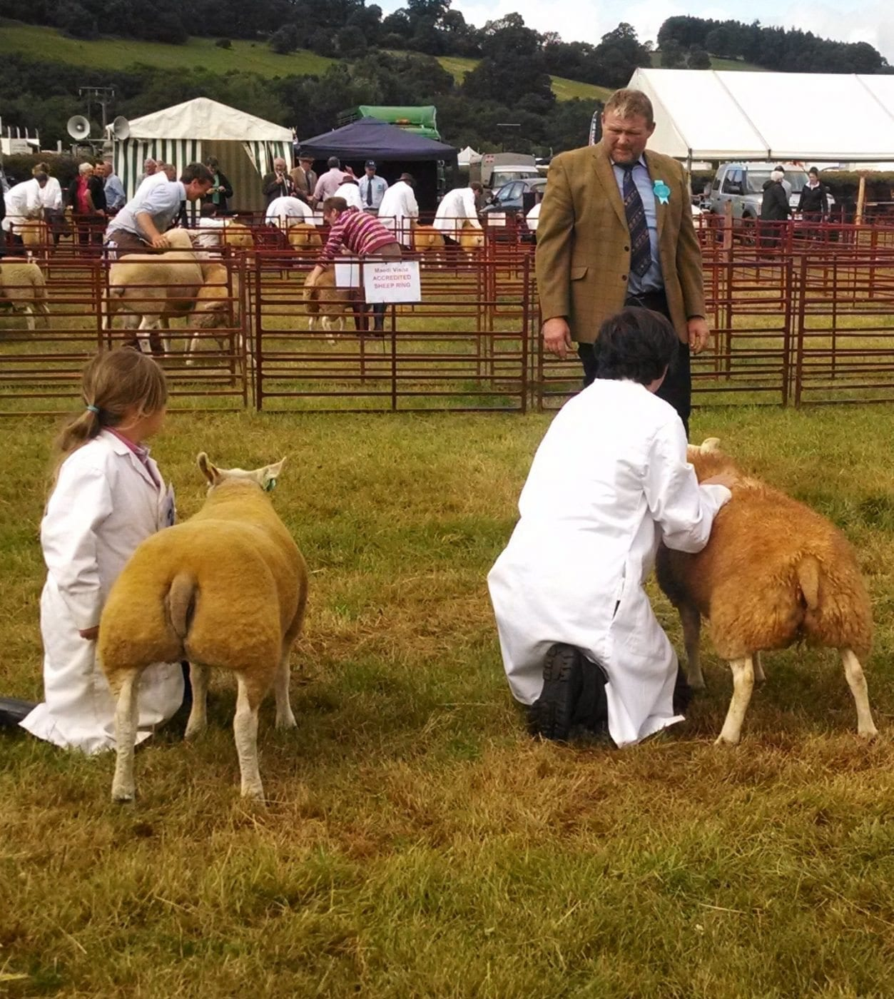 Judging Beltex at Brecon