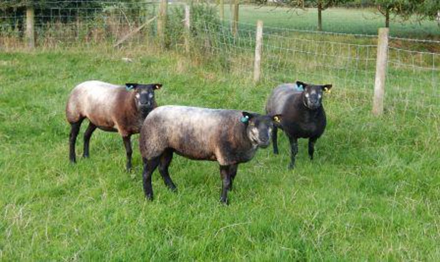 Blue Texel Shearling for sale at Worcester