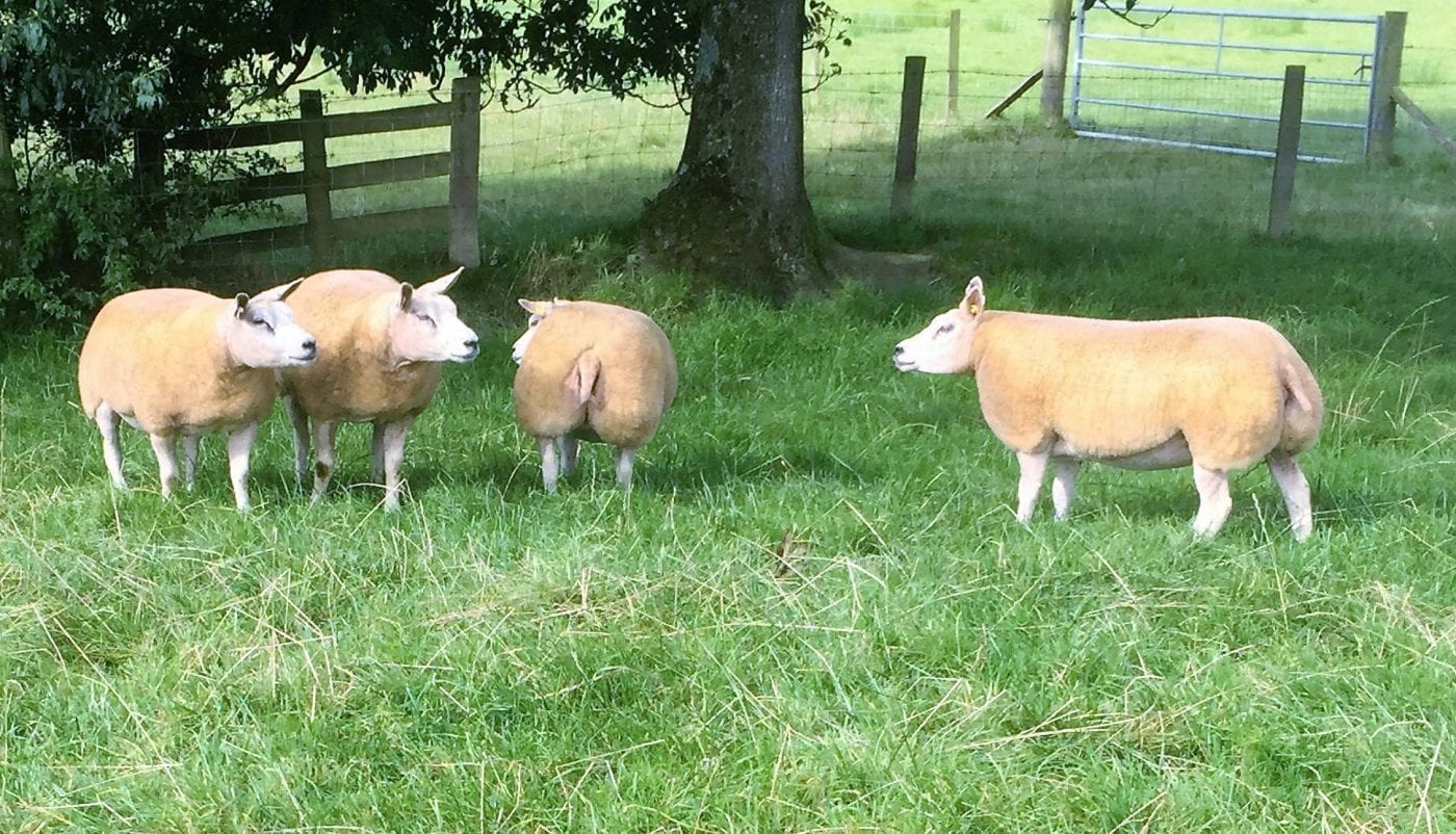 Beltex Shearling ewes for sale