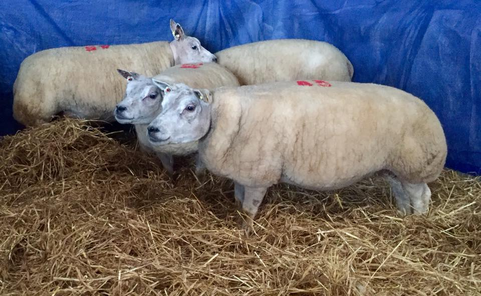In-lamb Ewes for Beeston Sat 6th January